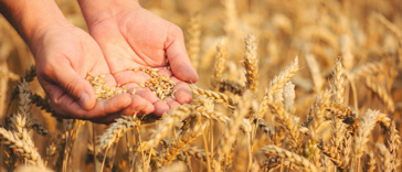 Feiten en fabels over tarwe
